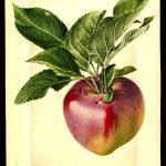 Aquarell eine rot-grünen Apfels mit Blättern; ©USDA