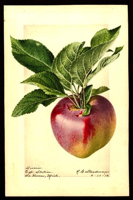 Aquarell eines rot-grünen Apfels mit Blättern; ©USDA