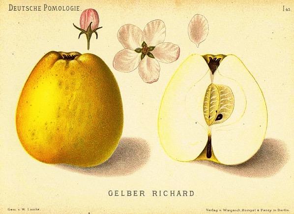 Historische Abbildung eines gelblichen und eines aufgeschnittenen Apfels, dazu Knospe und Blüte; gemeinfrei