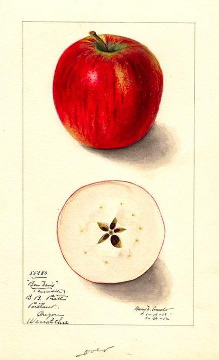 farbige Illustration eines roten und eines aufgeschnittenen Apfels; ©USDA, Public Domain