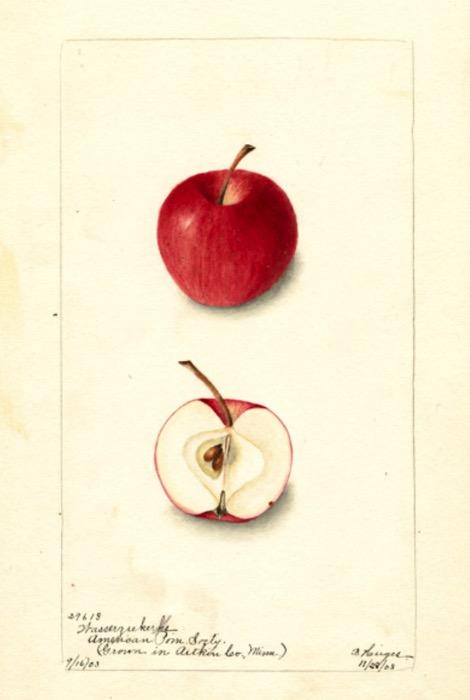 Farbige Illustration eines roten und eines aufgeschnittenen Apfels; ©USDA