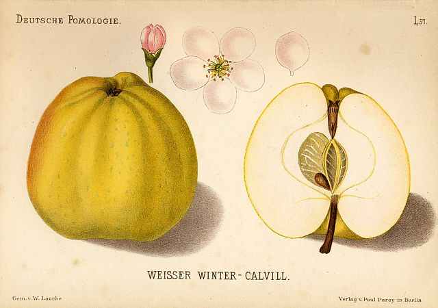Illustration des Weissen Winter-Calvill, Blüte und aufgeschnitten, gemeinfrei