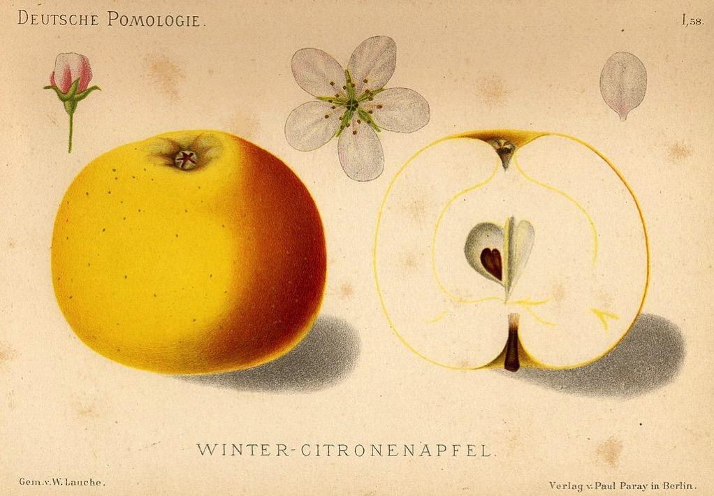 Zeichnung eines gelblich-roten Apfels, dazu Knospe, Blüte, Blatt und aufgeschnittene Hälfte, ©gemeinfrei