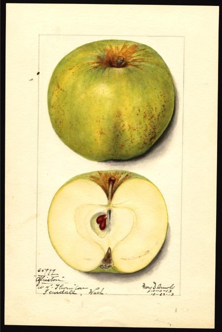 Aquarell einen grünlichen Apfels, dazu der aufgeschnittene Apfel; ©USDA