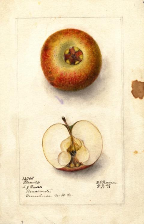Aquarell eines roten Apfels, dazu Ansicht des aufgeschnittenen Apfels; ©USDA