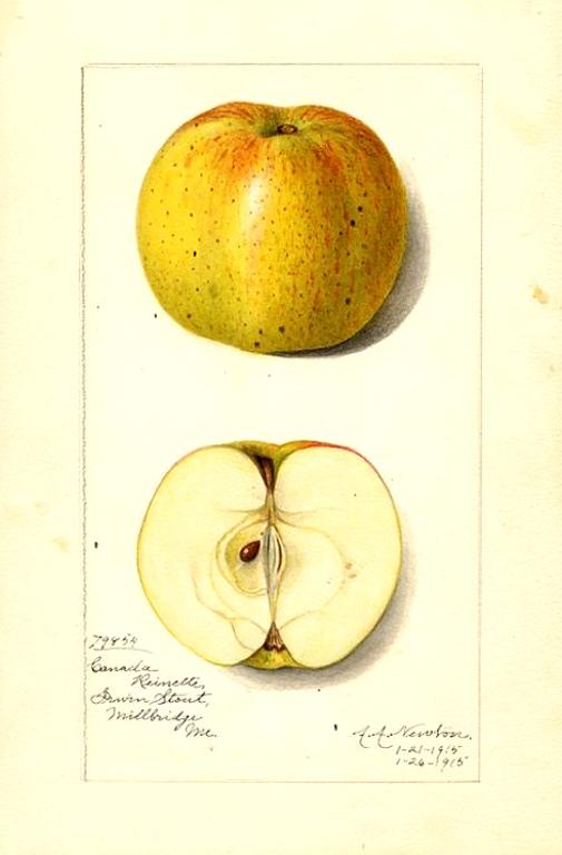 Aquarell des Livland raspberry, ©USDA, public domain