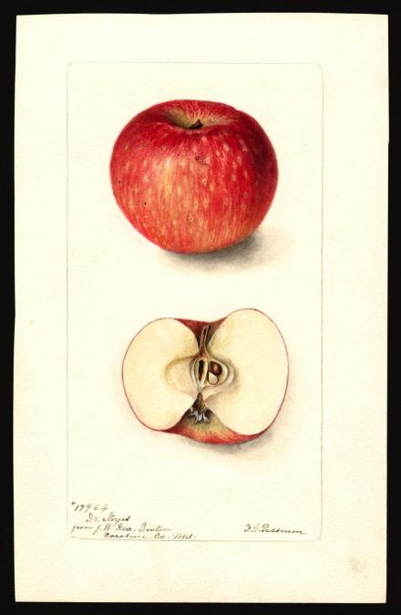 Aquarell eines rot-gesprenkelten Apfels, dazu Ansicht des aufgeschnittenen Apfels; ©USDA