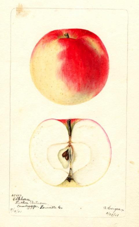 Farbige Illustration eines rotgeblichen Apfels, dazu ein Apfel im Querschnitt; USDA