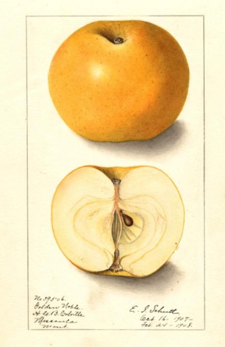 Illustration eines goldgelben und eines aufgeschnittenen Apfels; @USDA