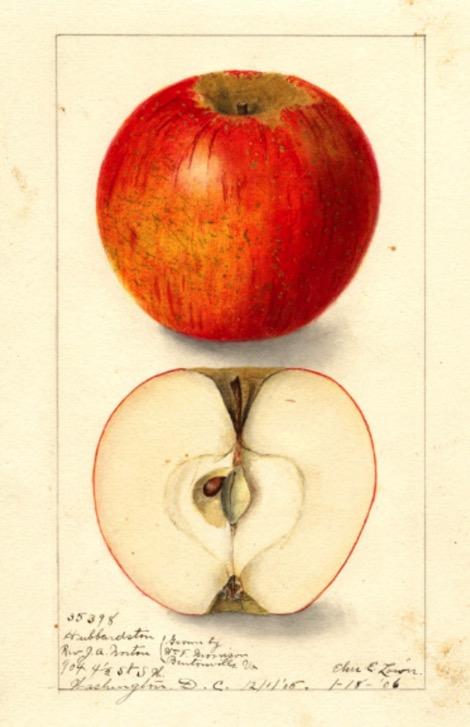 Historische Aquarellzeichnung eines roten und eines aufgeschnittenen Apfels; USDA