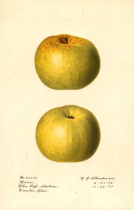 Colorierte Abbilung zwei grün-gelblicher Äpfel, @USDA