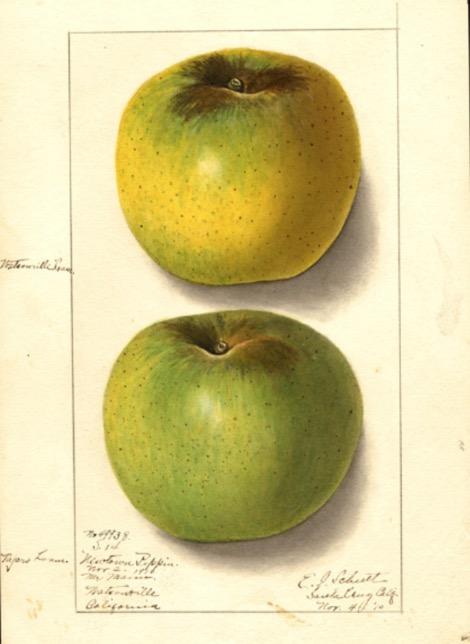 Historische Abbildung eines gelblichen und eines grünen Apfels; USDA