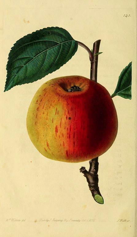 Historische Abbildunge eines rot-gelben Apfels, aus The Pomological magazine, © BHL, CC BY-NC-SA 2.0