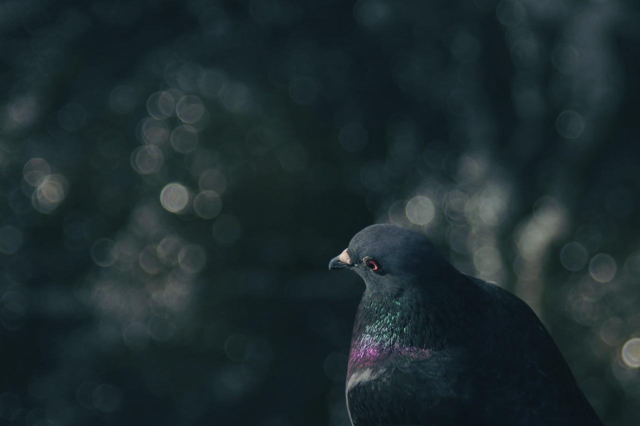 Eine Taube sitzend, von der Seite fotografiert; @ CC01
