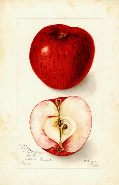 Alte Illustration eines roten Apfels als ganze Frucht und im Querschnitt; @USDA