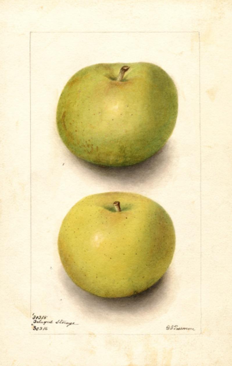 Aquarell eines grünlichen und eines gelblichen Apfels, zwei Früchte sind zu sehen; ©USDA