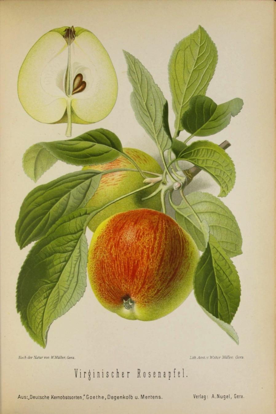 kolorierter Druck mit der Abbildung der Virginischen Rosenapfels; ©Staats- und Universitätsbibliothek Hamburg
