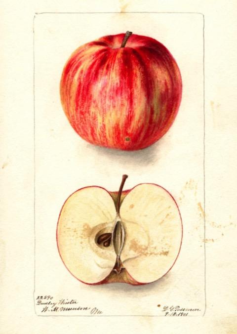 Historische Abbildung eines rötlichen und eines aufgeschnittenen Apfels; USDA