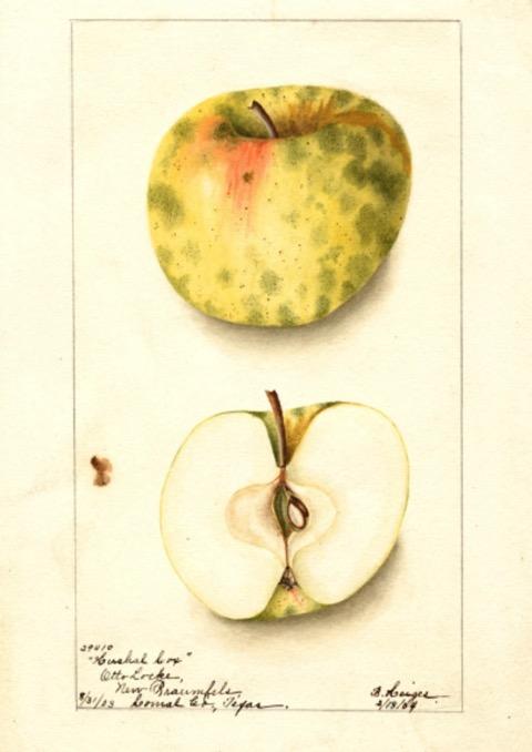 Historische Abbildung eines gelblich-grünlich getupften und eines aufgeschnittenen Apfels; USDA
