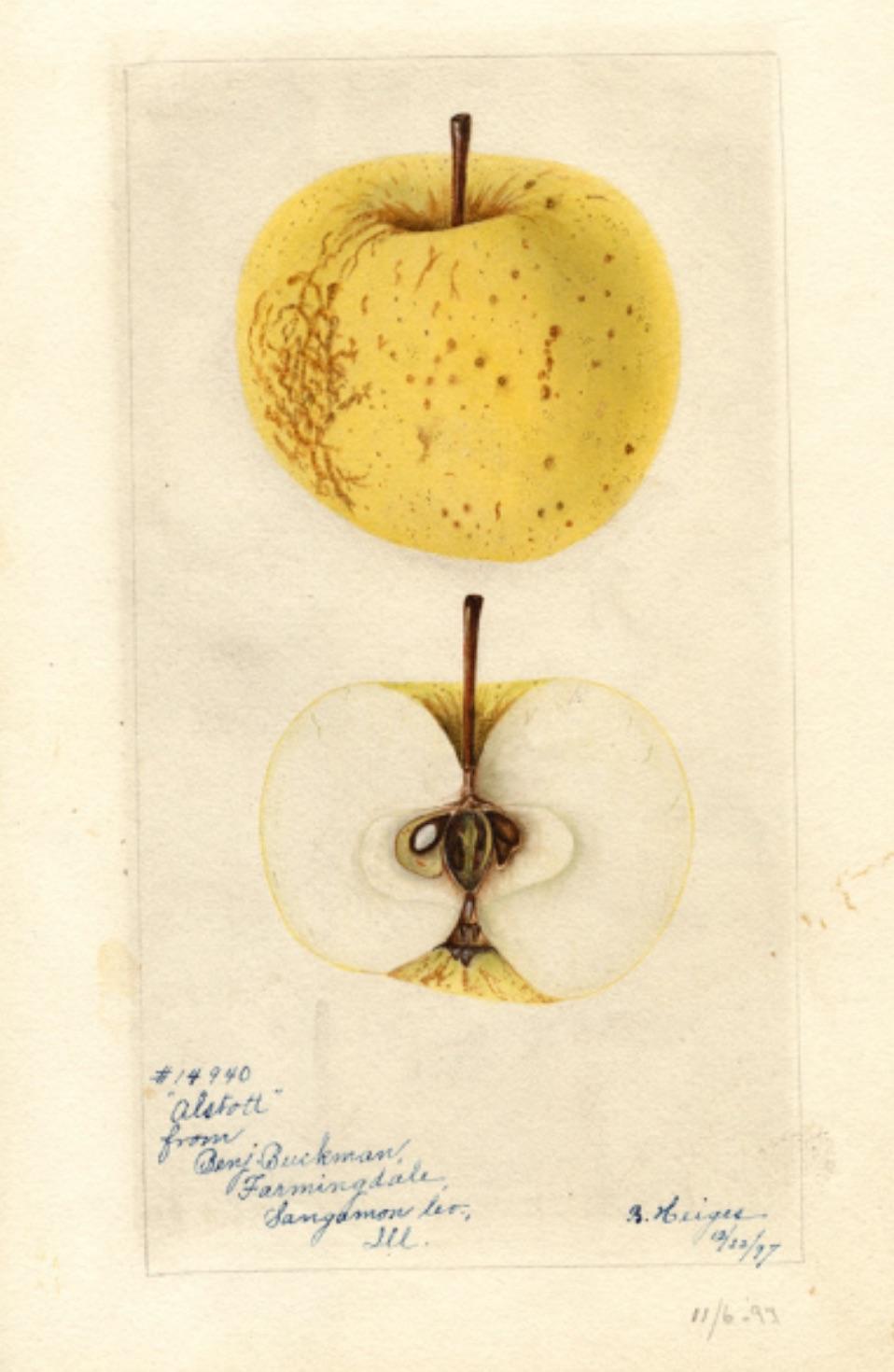 Historische Abbildung eines gelblichen und eines aufgeschnittenen Apfels; USDA