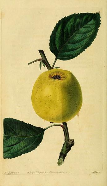 Historische Abbildung eines gelblichen Apfels mit Zweig und Blättern; aus The Pomological magazine 1833