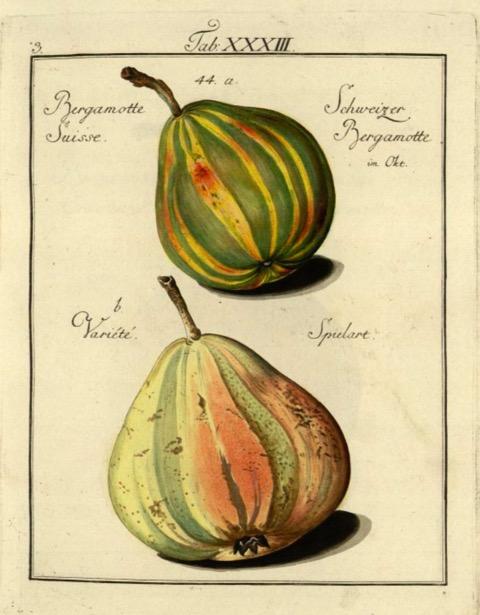 Historische Abbildung zweier gelblich-grünlichen Birnen; BUND Lemgo