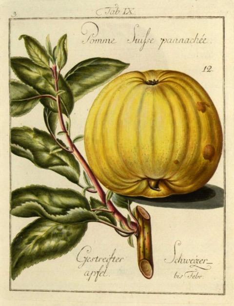 Historische Abbildung eines gelblichen Apfels und eines Zweigs; BUND Lemgo
