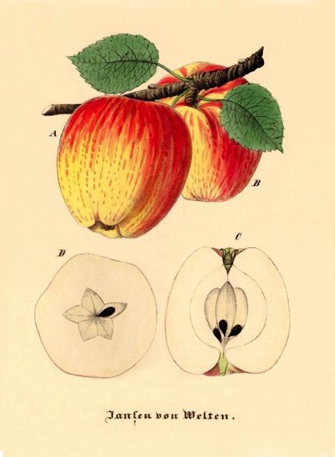 Historische Abbildung zweier gelblich-rötlicher Äpfel am Zweig und eines aufgeschnittenen Apfels;