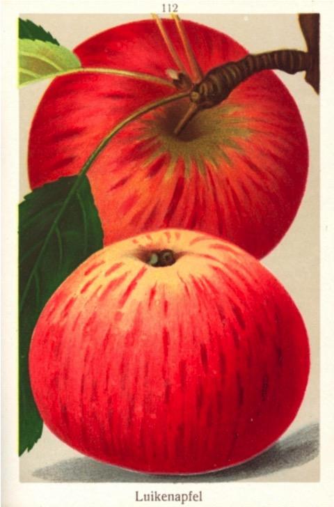 Historische Abbildung eines roten Apfels, einmal am Zweig mit Blatt, einmal liegend; Bund Lego