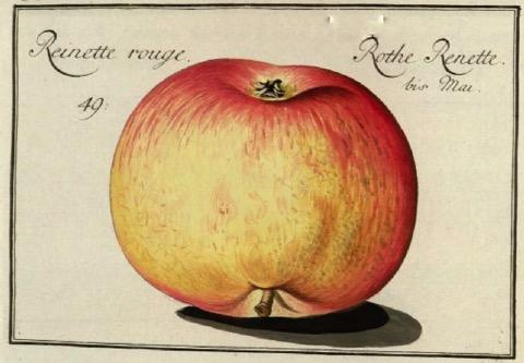 Historische Abbildung eines gelblich-rötlichen Apfels; @BUND Lemgo
