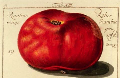 Historische Abbildung eines roten, in der Form platten Apfels; BUND Lemgo