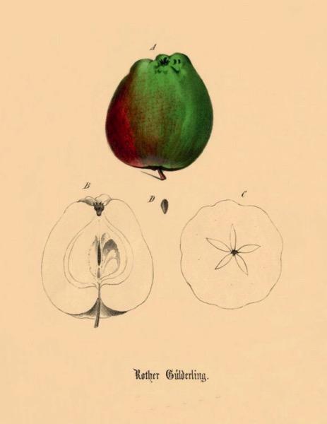 Historische Abbildung eines grün-rötlichen und eines aufgeschnittenen Apfels; BUND Lemgo