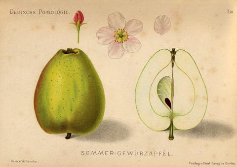 Historische Abbildung eines grünlichen und eines aufgeschnittenen Apfels;