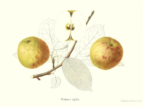 Historische Abbildung eines gelblich-rötlichen und eines aufgeschnittenen Apfels, dazu Zweige und Blätter; ©BUND
