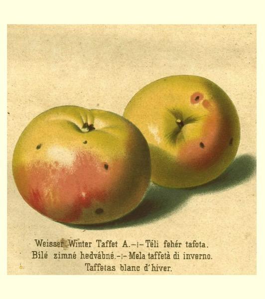 Historische Abbildung zweier gelblich-rötlicher Äpfel, darunter die Namensbeschriftung;