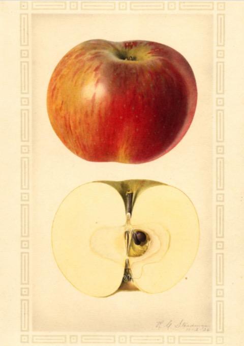 Historische Abbildung eines rötlich-gelben und eines aufgeschnittenen Apfels; USDA
