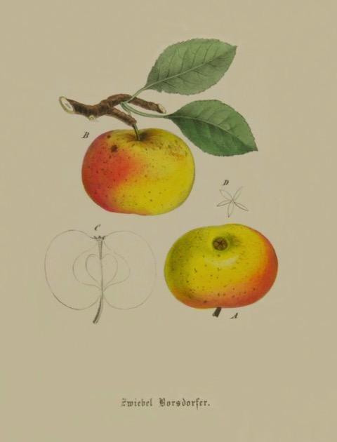 Historische Abbildung eines gelblich-rötlichen Apfels am Ast und eines auf von unten betrachteten Apfels; BUND Lemgo
