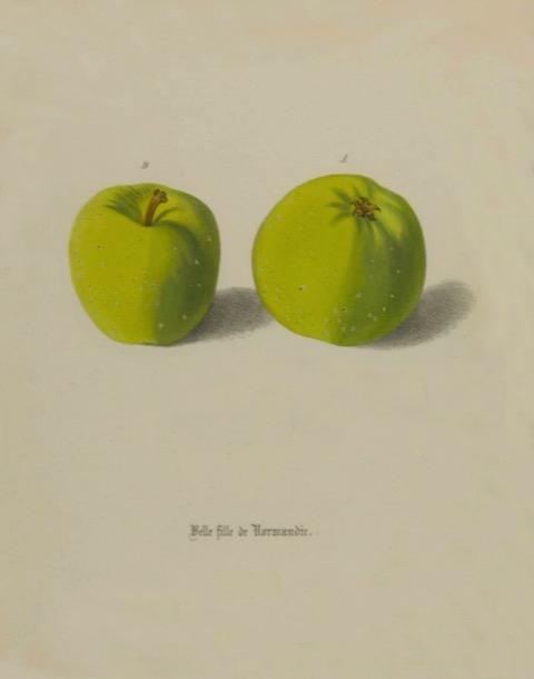 Historische Abbildung zweier grüner Äpfel; BUND Lemgo
