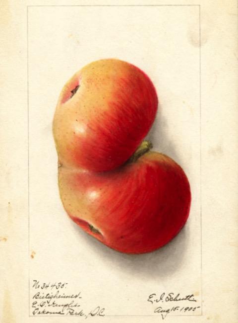 Historische Abbildung eines zusammengewachsenen gelblich-rötlichen Apfels; USDA