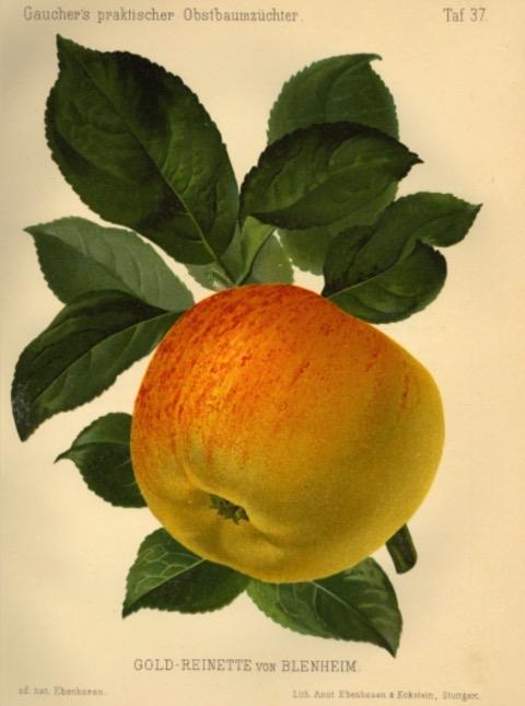 Historische Abbildung eines gelblich-rötlichen Apfels mit Blättern; BUND Lemgo