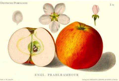 Historische Abbildung eines gelblich-rötlichen und eines aufgeschnittenen Apfels, dazu Blüten; BUND Lemgo