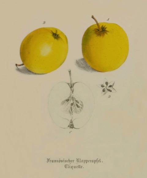 Historische Abbildung zweier gelber und eines aufgeschnittenen Apfels; BUND Lemgo