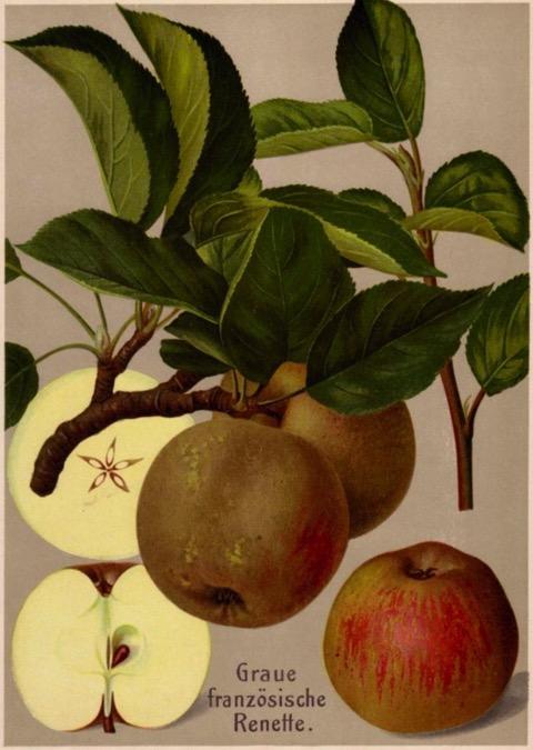 Historische Abbildung von Äpfeln am Zweig mit Blättern und im Aufschnitt; BUND Lemgo