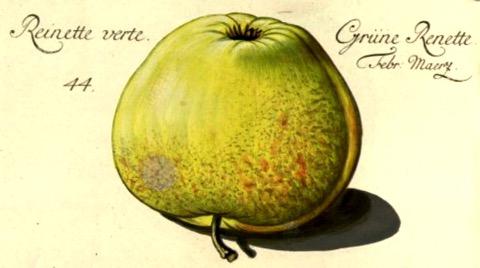 Historische Abbildung eines grünen Apfels; BUND Lemgo
