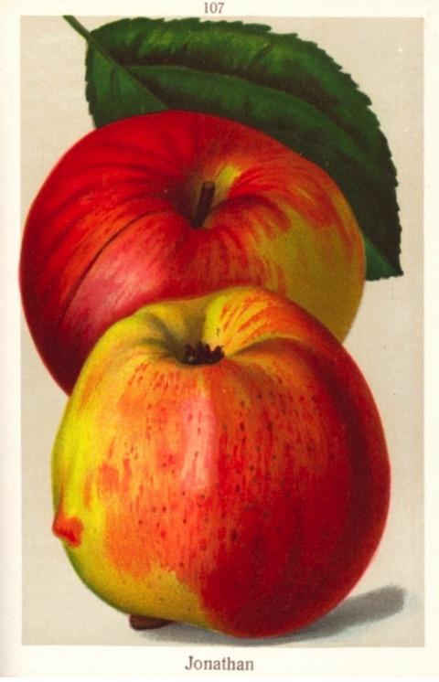 Historische Abbildung zweier gelblich-rötlicher Äpfel und eines Blattes; BUND Lemgo