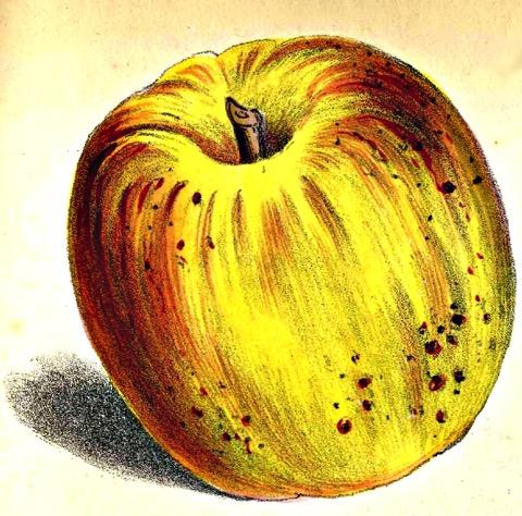 Historische Abbildung eines gelblich-rötlichen Apfels