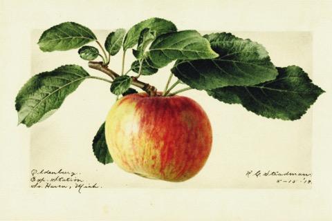 Historische Abbildung eines gelblich-rötlichen Apfels am Zeig mit Blättern; USDA