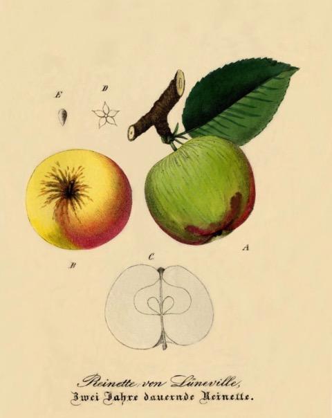 Historische Abbildung eines gelblichen, eines grünen und eines aufgeschnittenen Apfels; BUND Lemgo