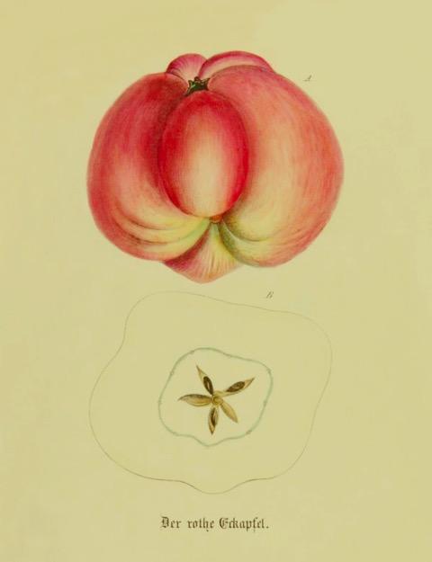 Historische Abbildung eines rötlichen Apfels, dazu ein Querschnitt; BUND Lemgo