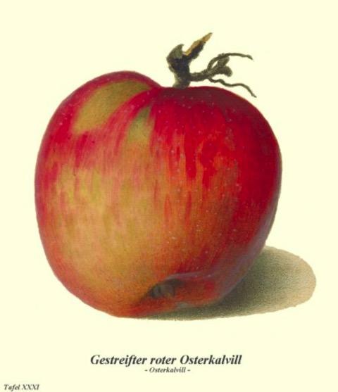 Historische Abbildung eines rot-gelblichen Apfels; Bund Lemgo